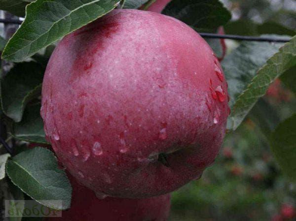 Сорт яблони Спартан: фото и описание сорта