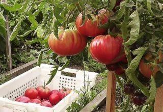 Какие помидоры лучше всего сажать в теплице