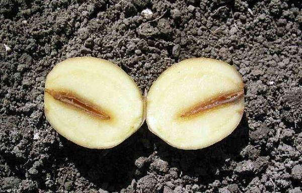 Почему картошка чернеет внутри при хранении и что сделать: что это такое и каковы причины, когда изменение цвета является следствием болезни и плохим уходом