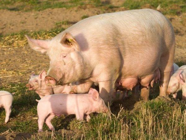 Лучшие мясные породы свиней. породы свиней мясного направления