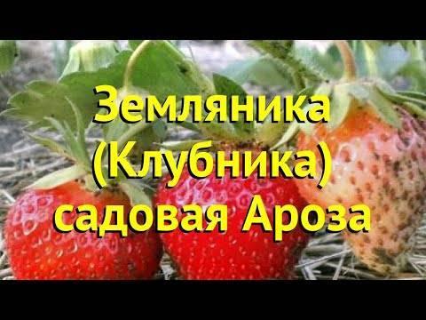 Выращивание и уход за сортом клубники ароза