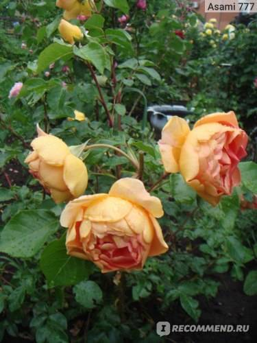 О розе мария терезия (maria theresia): описание и характеристики сорта