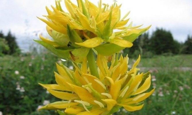 Горечавка (37 фото): посадка и уход в открытом грунте, желтая и легочная, ластовенная и даурская, узколистная, крестовая и весенняя