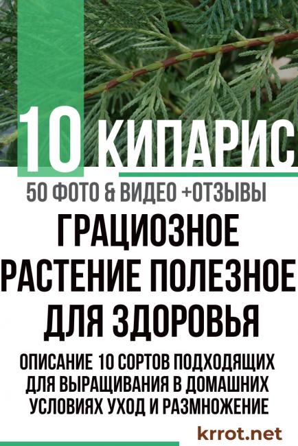 Кипарисовик лавсона (chamaecyparis lawsoniana)