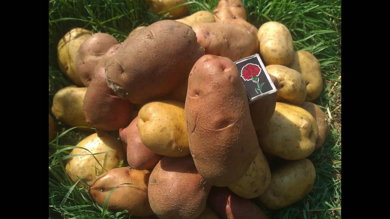 Неприхотливый картофель «свитанок киевский»: описание сорта, характеристика и фото