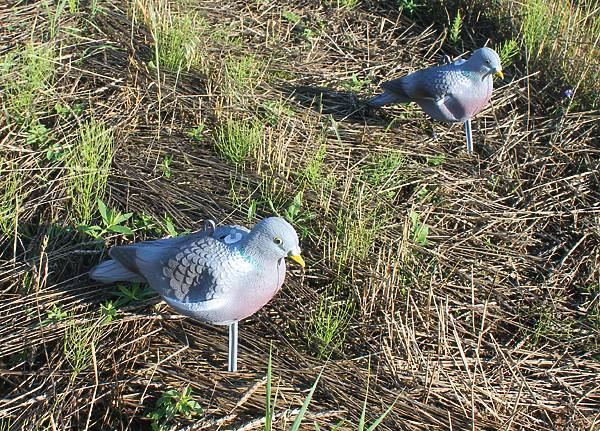 Крупный лесной голубь: описание вяхиря