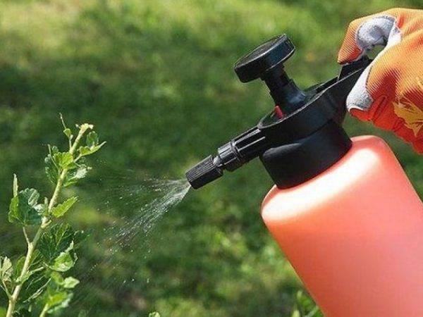 Как и когда поливать смородину кипятком