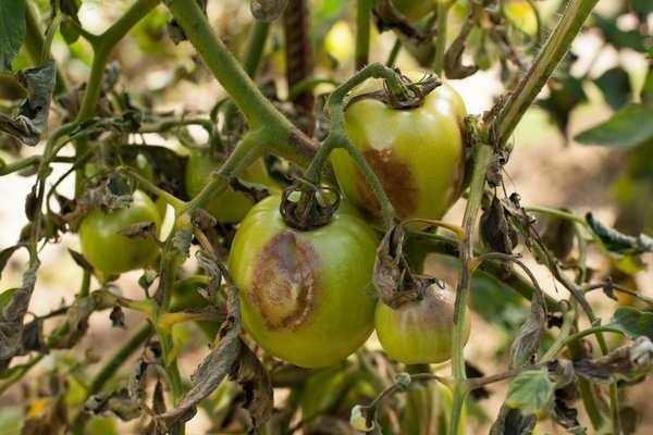 Томат евпатор – 5 советов по выращиванию рассады и описание основных особенностей
