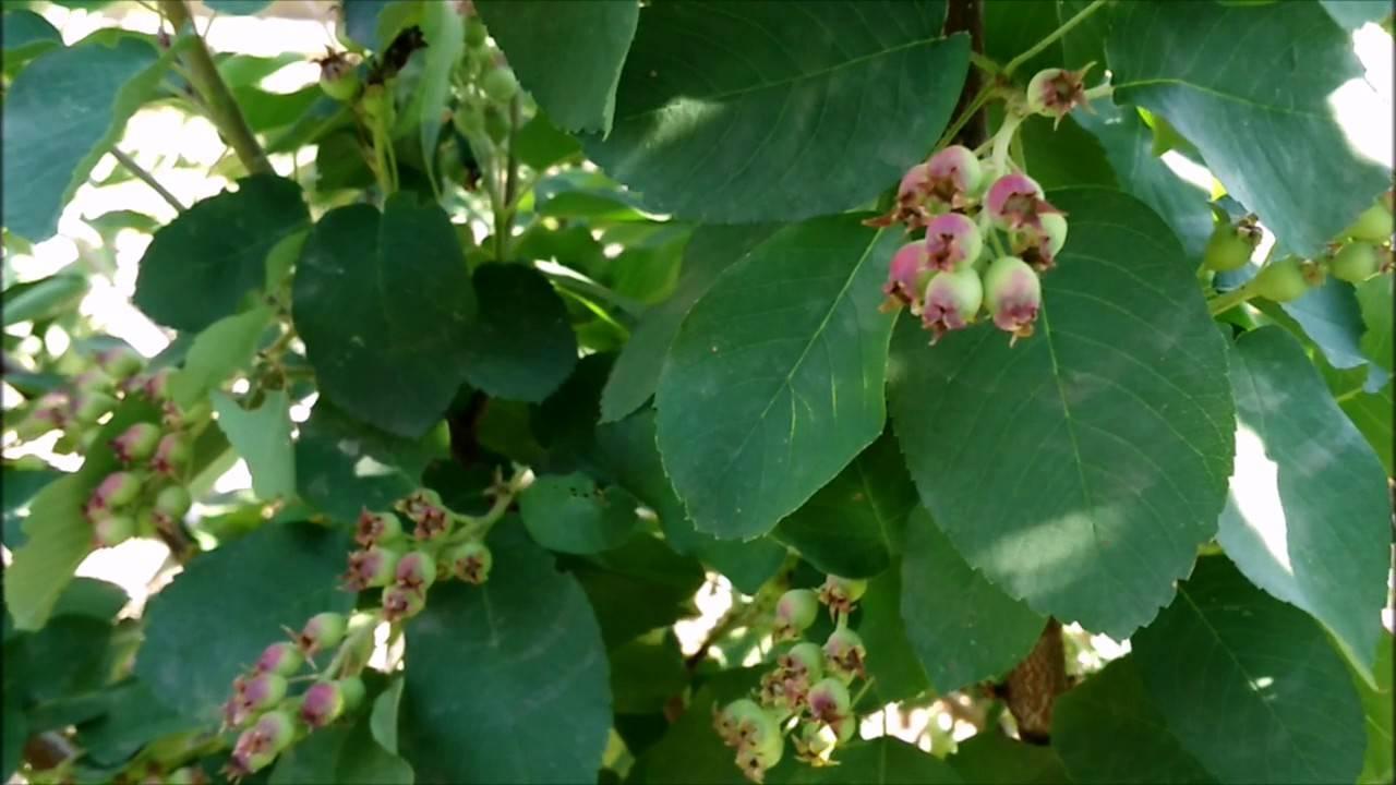 Ирга – выращивание и уход