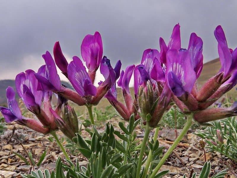 Трава астрагал: лечебные свойства и противопоказания