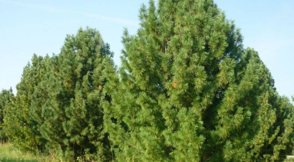 Где растут кедровые орехи