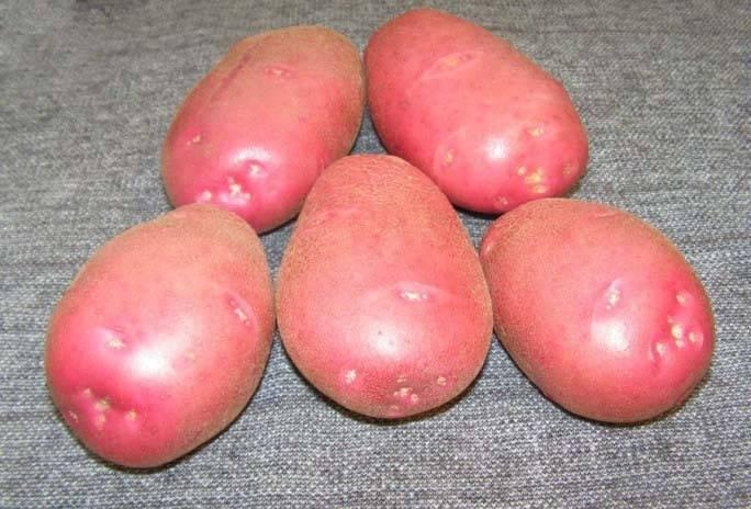 Сорт картофеля родриго: описание и характеристика, отзывы