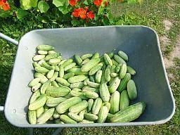 Как выращивать огурцы в открытом грунте в ленинградской области, лучшие сорта