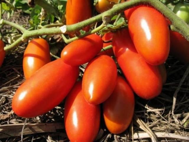 Крупноплодные сорта томатов для открытого грунта и теплиц