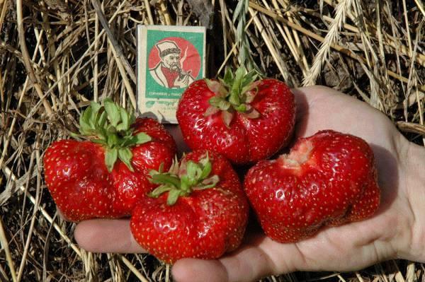 Сорт клубники машенька: агротехника выращивания и описание ягодной культуры