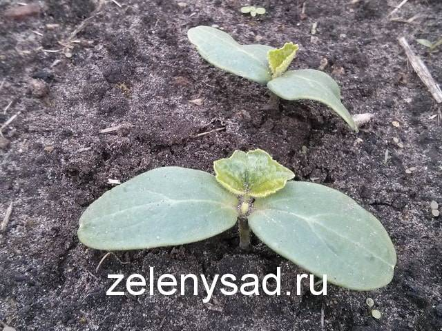 Как правильно посадить семена огурцов в грунт