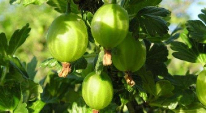 Крыжовник куйбышевский: один из лучших черноплодных сортов