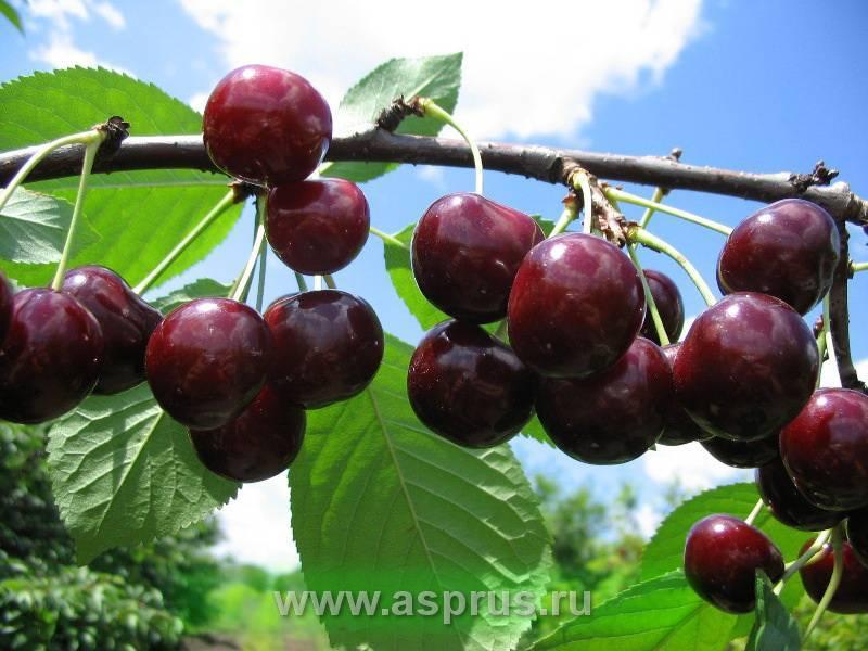 Вишня черная – 8 общих характеристик, сорта и правила выращивания