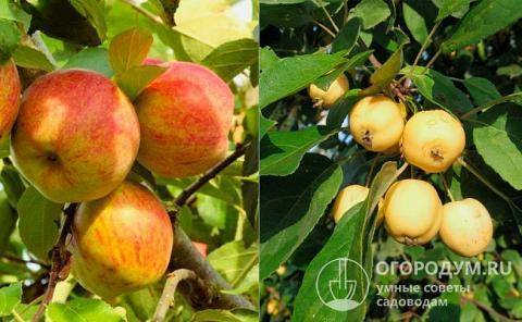 Яблоня бельфлер китайка: описание сорта, особенности выращивания