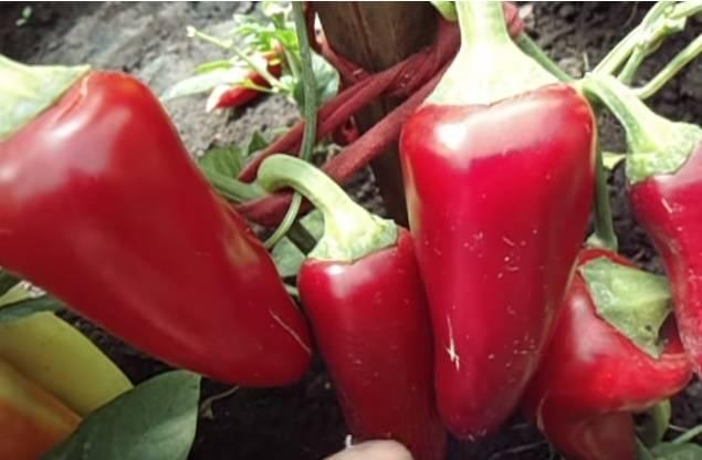 Сорт перца подарок молдовы: описание и советы по выращиванию