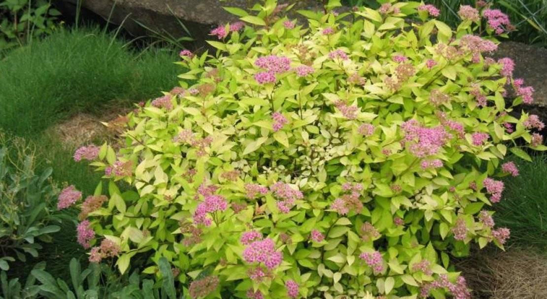 Цветок спирея – посадка и уход в открытом грунте, виды и сорта спиреи (фото) и описание, обрезка спиреи и зимовка