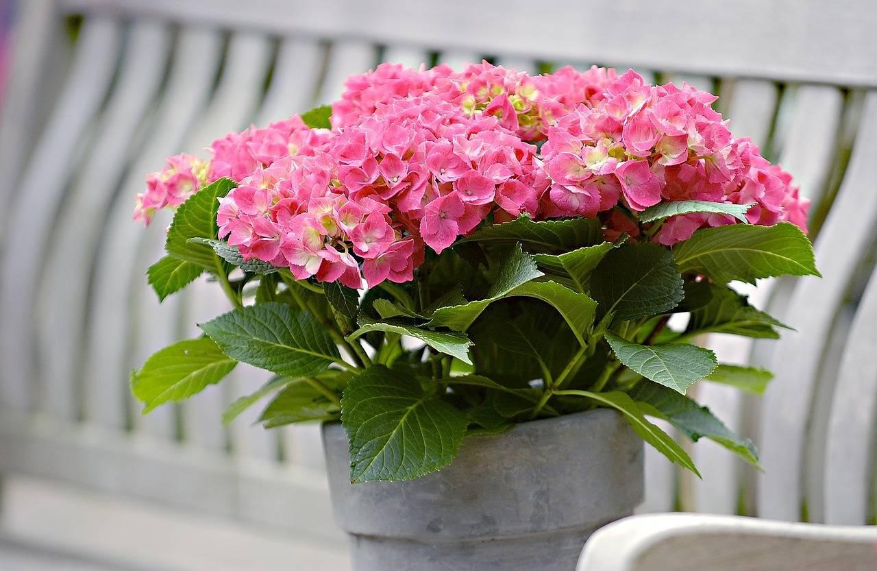 Почва для гортензии: какой грунт нужно приготовить для посадки в саду и дома