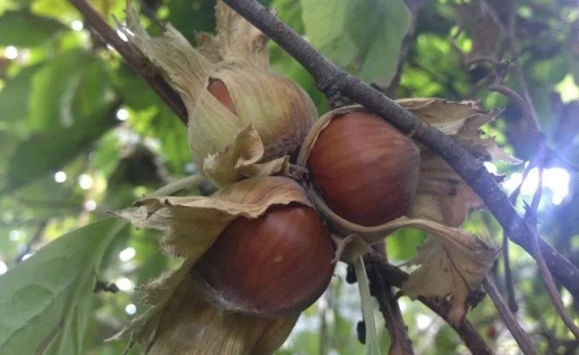 Лесной орех и фундук — в чём их различие