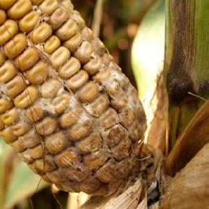 Защита кукурузы от вредителей и болезней, система защиты кукурузы — пропозиция