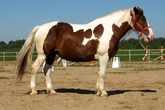 Лошади башкирской породы: описание, характеристики и фото