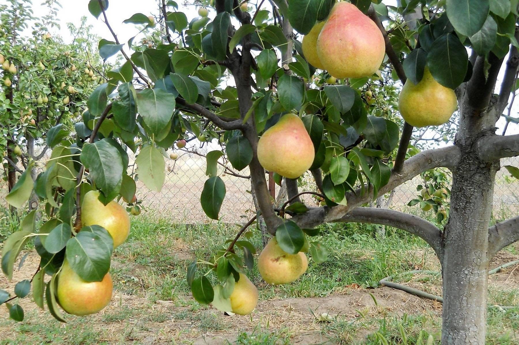 Как и когда правильно посадить грушу весной: пошаговая инструкция для начинающих с фото