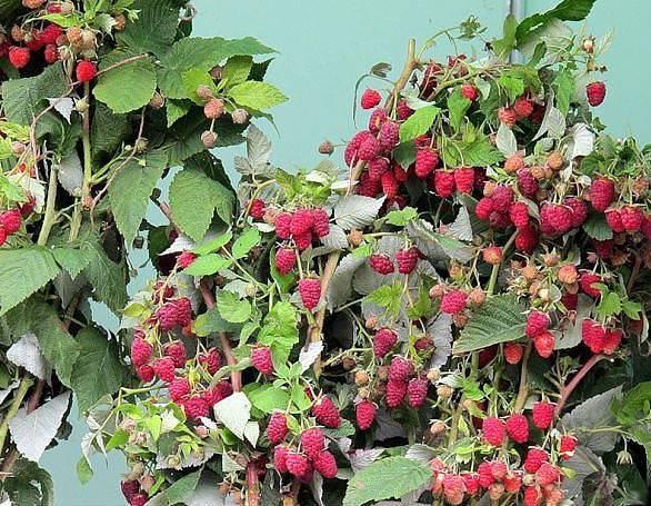Top-18 самых крупноплодных сортов малины
