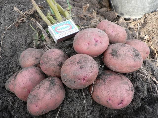 Сортовые особенности картофеля журавинка