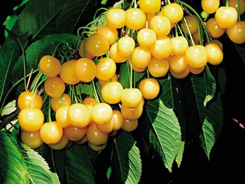 Топ-12 лучших сортов жёлтой черешни и особенности её выращивания