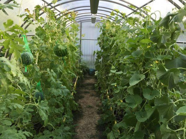 Несколько способов и 8 правил: как выращивать арбузы в теплице