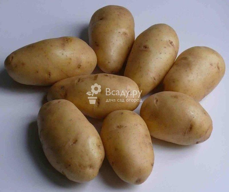 Лучшие сорта картофеля для подмосковья: планируем посадки