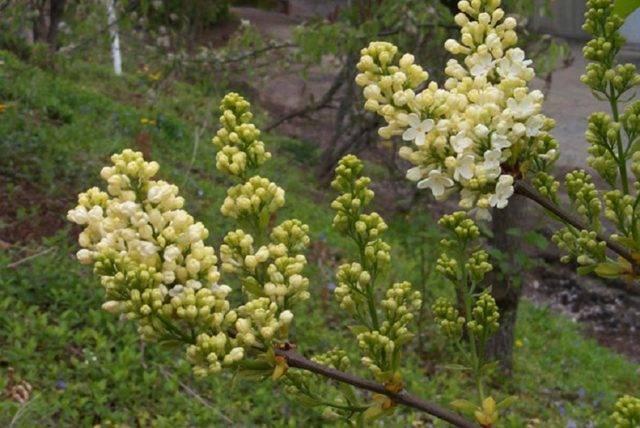 Сирень обыкновенная primrose