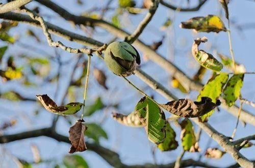 Вредители и болезни грецкого ореха фото и видео