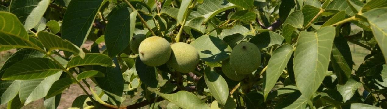 Грецкий орех: посадка и уход, обрезка и болезни