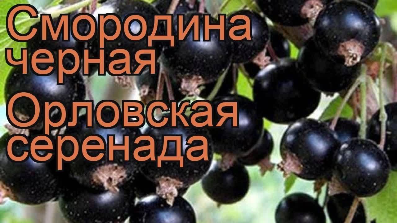 Черная смородина голубка - завсегдатай садового участка