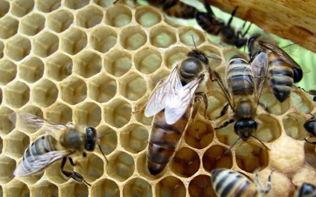 Пчеломатка: её виды, роль в улье и жизненный цикл