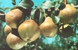 Груша сорта любимица клаппа — особенности выращивания и ухода