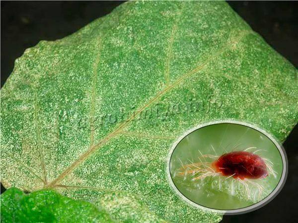 Паутинный клещ на баклажанах, помидорах и перце - как бороться? фото вредителя и способы избавления.