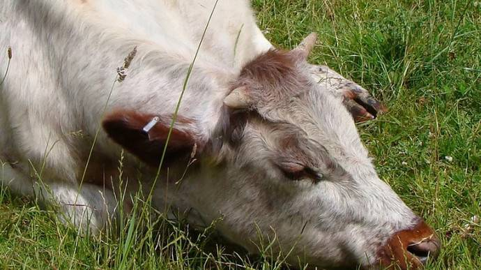 Почему теленок скрежет зубами