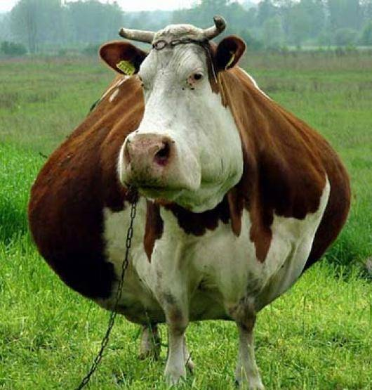 Симптомы и лечение уплотнений в вымени у коровы
