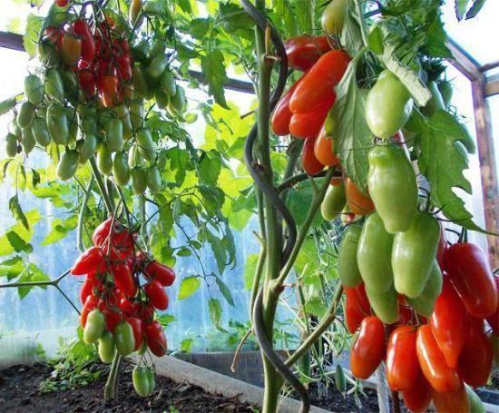 Томат аурия: характеристика сорта и особенности выращивания