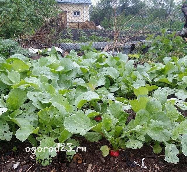 Хорошие сорта редиса для теплиц: лучшие, ранние, урожайные, скороспелые