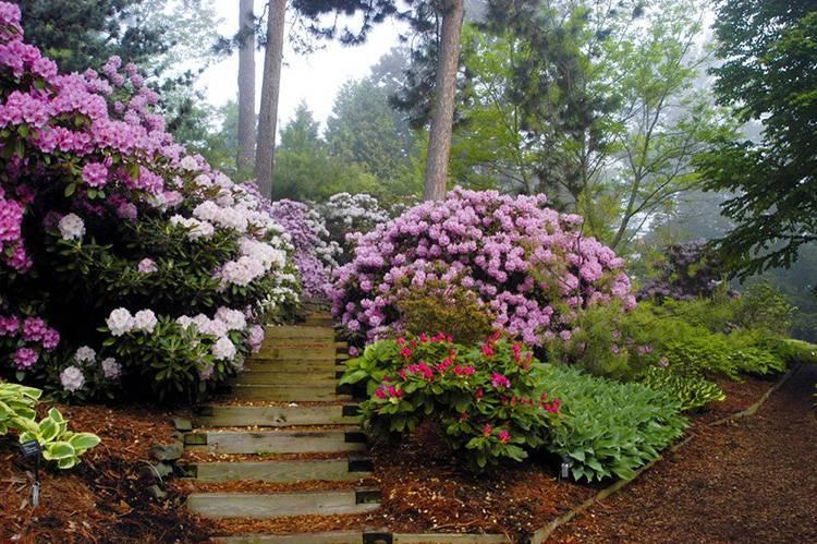 Рододендрон: посадка и уход, полезные свойства