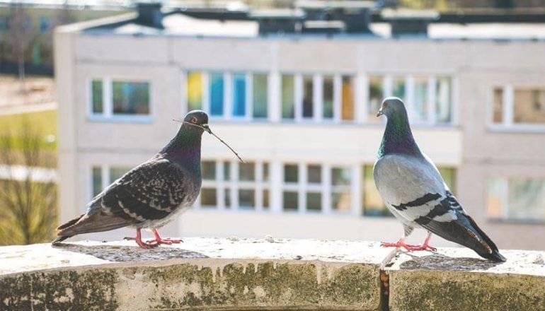 Как отпугнуть голубей с подоконника и балкона