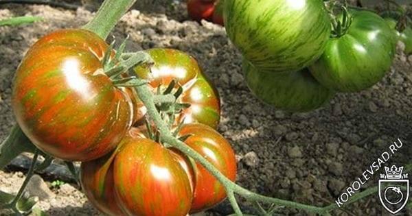 Помидоры «полосатый шоколад»: описание, агротехника выращивания