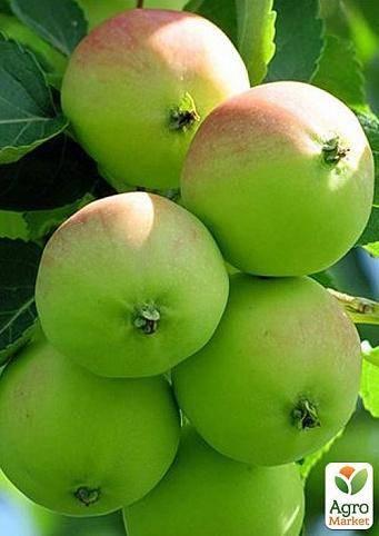 Описание сорта яблони эрли женева